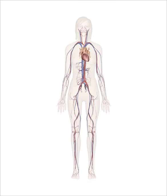 human body outline 10.61